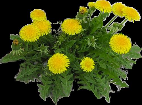 oduvanchik